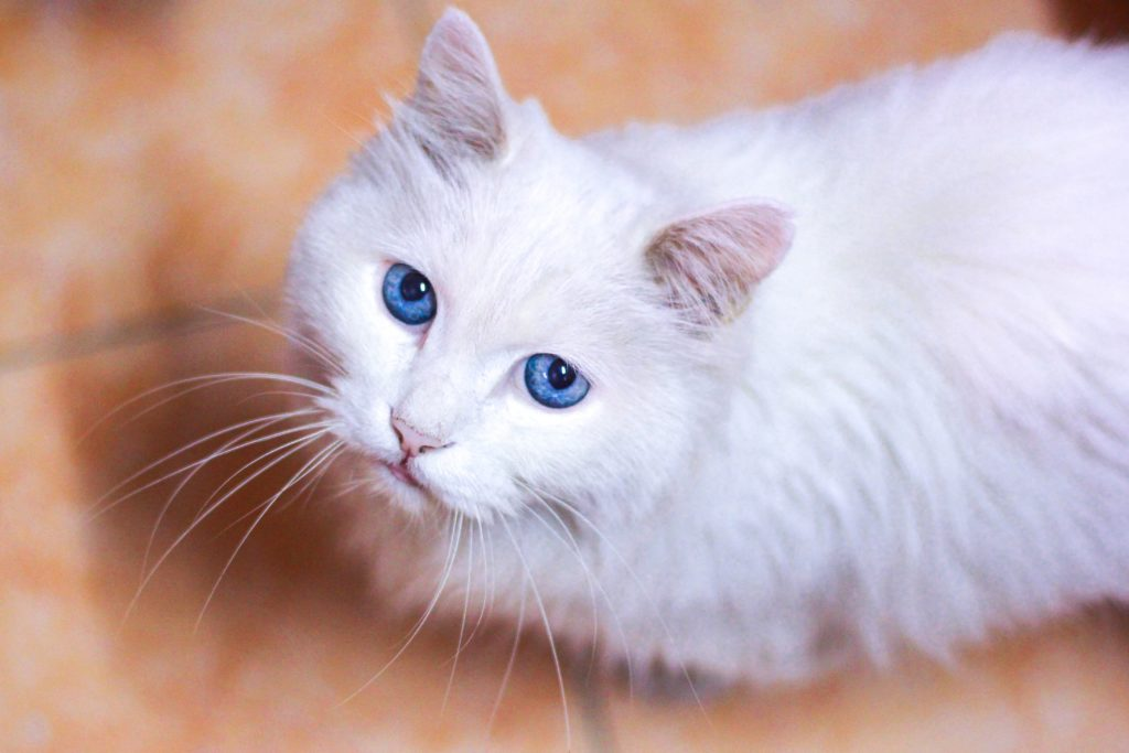 If your senior cat is drinking a lot of water, hyperthyroidism might be to blame.
